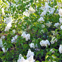 The beautiful white lilac