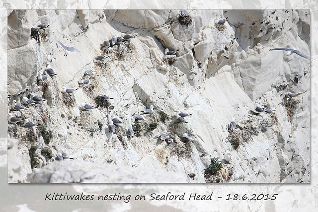 Kittiwakes nesting on Seaford Head - 18.6.2015