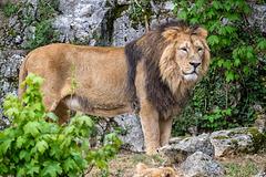 BESANCON: Citadelle: Le Lion (Panthera leo). 01