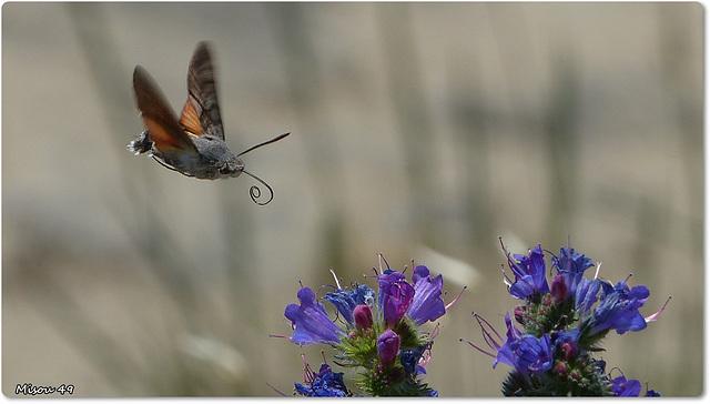 Papillon Moro Sphinx .