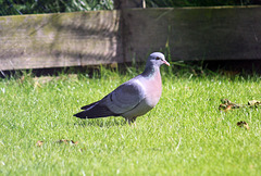 Stock Dove enjoying the sunshine