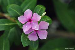20200502-0475 Catharanthus roseus (L.) G.Don