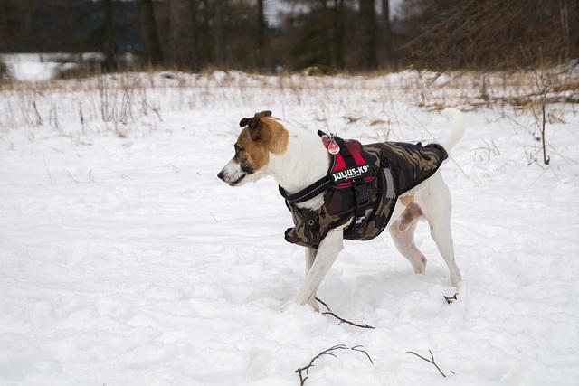 Jack Russell Terrier Rico DSC09931