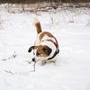 Jack Russell Terrier Clifford DSC09930