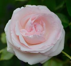 Belle rose du dimanche