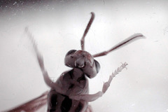 Paper Wasp, infrared macro