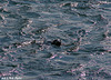 Seal in Scintillating Waters