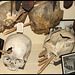 headhunted heads
