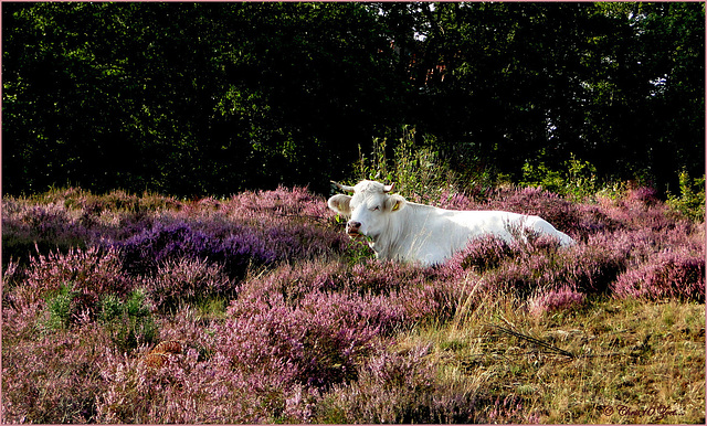 Bertha resting in the Heather :-)