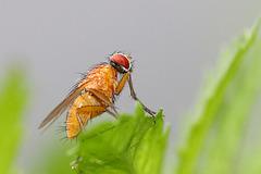 Explored - Faszinierende Fliege