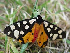 Ecaille fermière, écaille villageoise, Arctia villica, Epicallia villica (femelle)