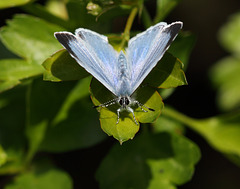 Holly Blue (Celastrina argiolus) butterfly
