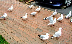 Gulls Looking For Tidbits