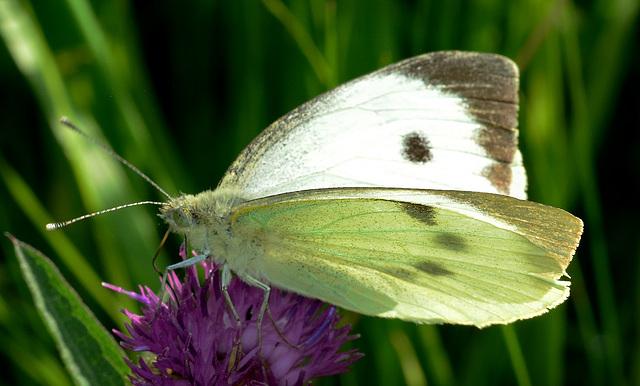 Large White. Pieris brassicae