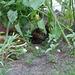 froggelsteinse kater