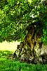 Judge Wyndham's Oak ~ Silton