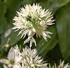 Ramsons. Wild Garlic