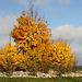Goldene Herbstfarbe