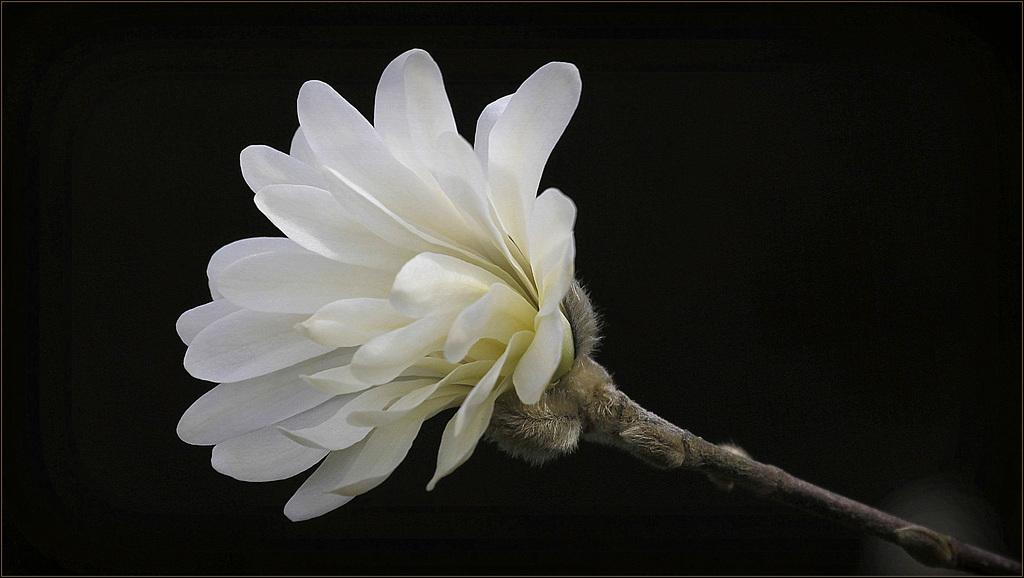 Une fleur par jour.... - Page 5 41435654.ce25d345.1024