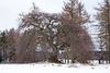 Blankenheim - Hängebuche DSC09929
