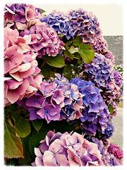 les hortensias, et leurs couleurs passées,,