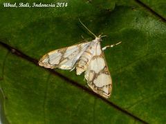 IBa054 Cirrhochrista fumipalpis (Fig Moth)