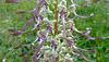 C'est une orchidée, himantoglossum hircinum...