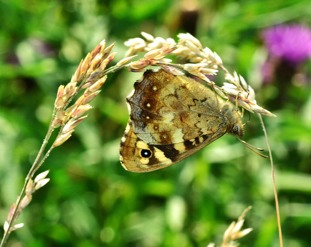 Speckled Wood. Parage aegeria