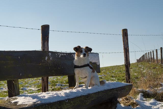 Jack Russell Terrier Clifford DSC09908