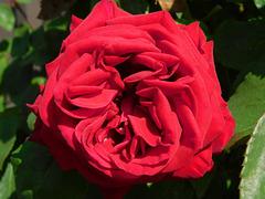 Une rose ...pour vous !