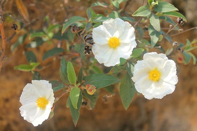 Ciste à feuilles de laurier  (Famille des Cistacées)