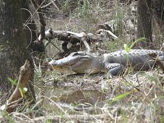 A rather large alligator