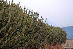 20080304-0143 Euphorbia neriifolia L.