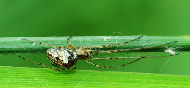Long Jawed Orb Web Spider. Tetragnathidae. 5