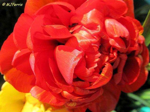 04 tulip