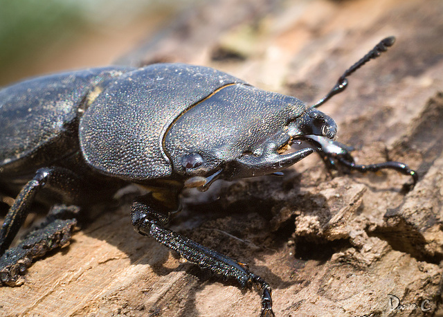 Male Stag Beetle Portrait