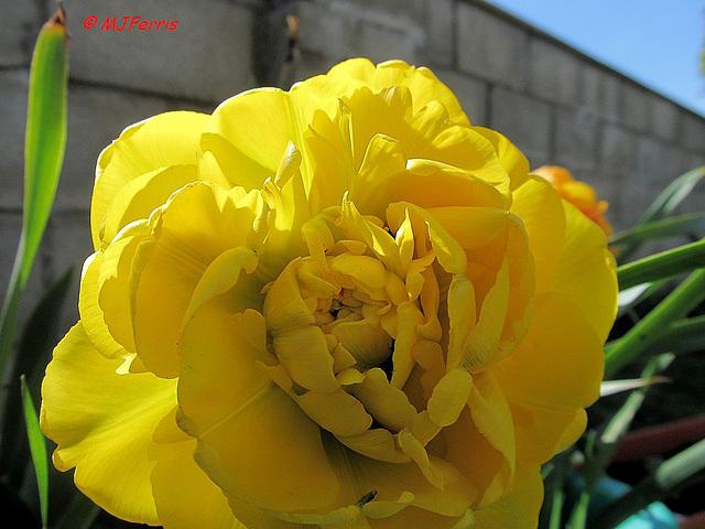 05 tulip