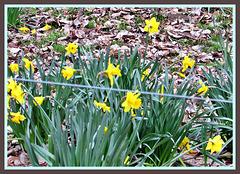 Daffodils Growing Wild.