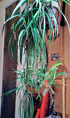 Spider plant with young in my kitchen