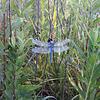 Common pondhawk dragonfly
