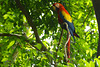 Honduras, Macaw Parrot in Copan Ruinas Forest