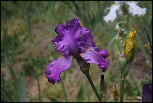 Iris Pervenche du Barry (2)