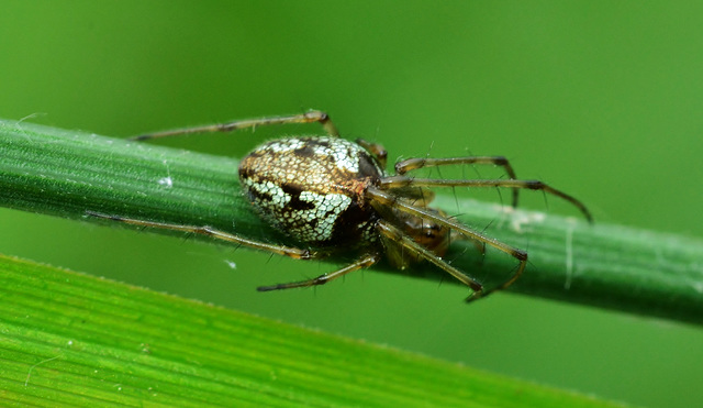 Long Jawed Orb Web Spider. Tetragnathidae. 3