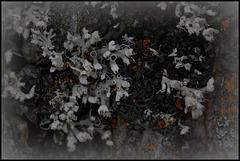 Physcia sp.... Lichen à poils
