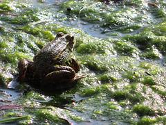La rana encantada, 2