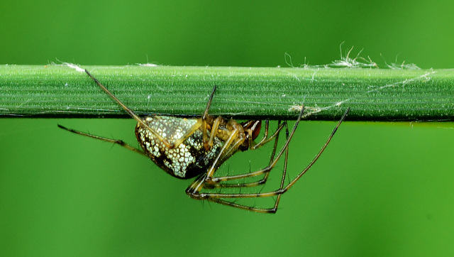 Long Jawed Orb Web Spider. Tetragnathidae 1