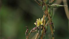 La discrète - Lactuca serriola