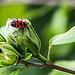 20150828 8611VRAw [D~RI] Roseneibisch (Hibiscus), Goldfliege, Feuerwanze, Rinteln