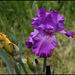 Iris Pervenche du Barry (3)