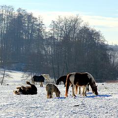 Pferde auf der Winterkoppel